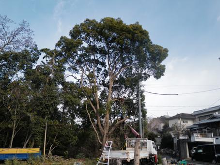 四日市市にて斜面上の楠木伐採ご依頼