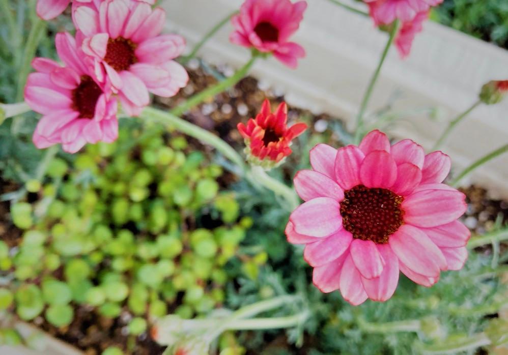 花言葉は「気丈に」「誠実」。人気の多品種「ローダンセマム」