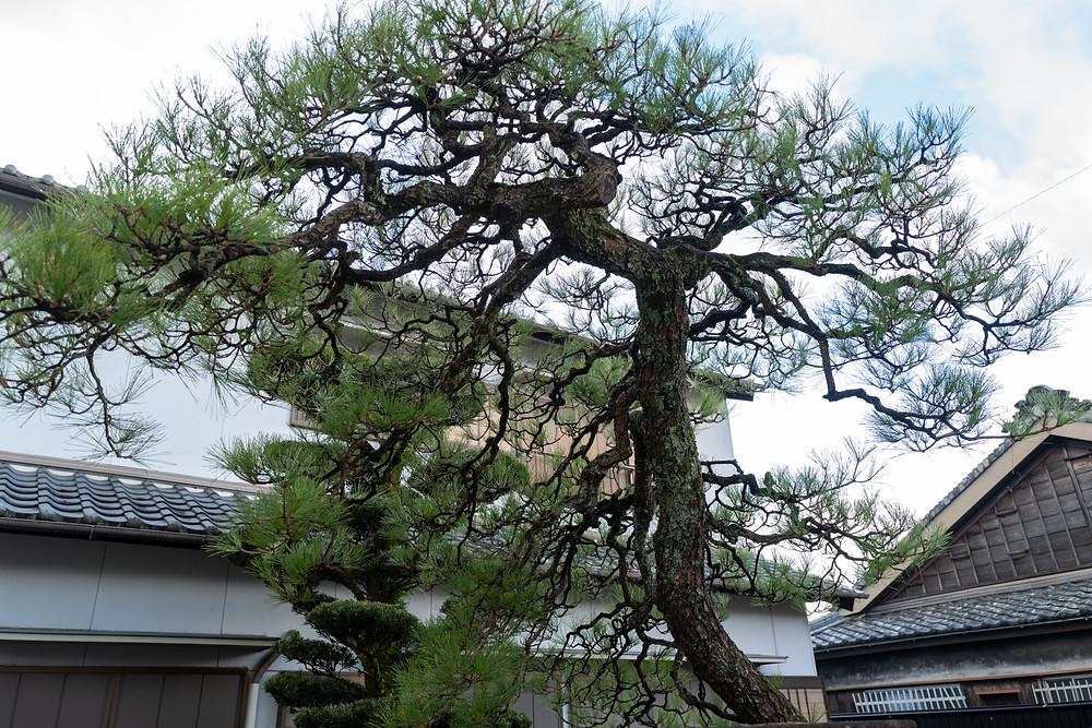 三重県亀山市にて黒松の剪定 身近な木から自然環境を考える|三重県剪定伐採専門店 剪定屋空