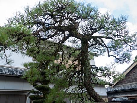 亀山市にて黒松の剪定 身近な木から自然環境を考える