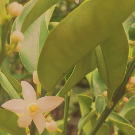 白く可憐な夏を彩る花「キンカンの花」
