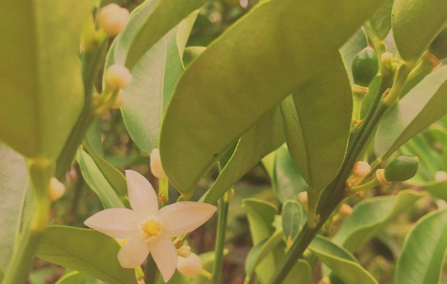 夏の暑い時期、金柑の花が咲いていました。白く小さく可憐な花が枝先にたくさん。よく見るとまわりには緑色の小さな実もつき始めています。我が家の庭は夏場にはあまり花がないので、金柑の花は貴重な存在なのでしょう、ミツバチもよく花の周りをよく飛んでいます。金柑はミカン科キンカン属、中国を原産国としていますがミカンより低木で1-2mと小ぶりなこと、葉も小さく耐寒性があり育てやすいので日本の庭木にも人気がでたようです。常緑樹なので一年中緑の葉を茂らせ、冬には小さなオレンジの実をたくさんつけるので、食用でも観賞用としても楽しめるところも家庭木に普及したポイントなのではないでしょうか。 また、あまり見かけないのですが、アロマセラピーの精油にも和製油として金柑のエッセンシャルオイルがあるようです。スイートオレンジよりも甘い香りがするそうで、金柑の効能として、血流をよくし、ストレスの緩和や気持ちを落ち着かせる効果もあるとされているので、柑橘系のアロマとしてブレンドしてみるのもよさそうです。暑い時期ならペパーミントなど涼しげな香りと相性もよさそうですし、冷房による足のむくみも気になる時期ですので、マッサージオイルに数滴加えて寝る前のマッサージをするもいいかもしれません。 やさしい甘い香りを放ちながら、このまま暑い夏を越して、冬にたくさんの実をつけてくれるのを楽しみにしたいと思います。