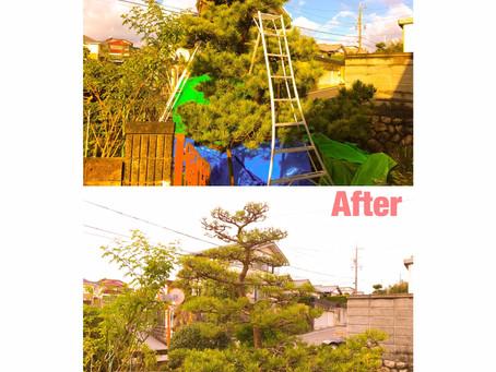 松の剪定作業