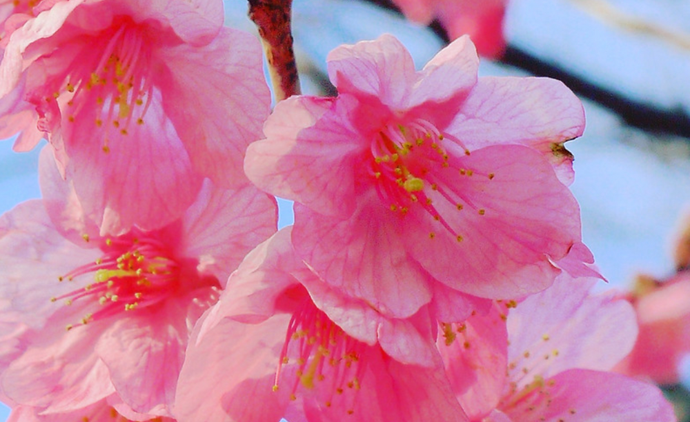 三重県 桜