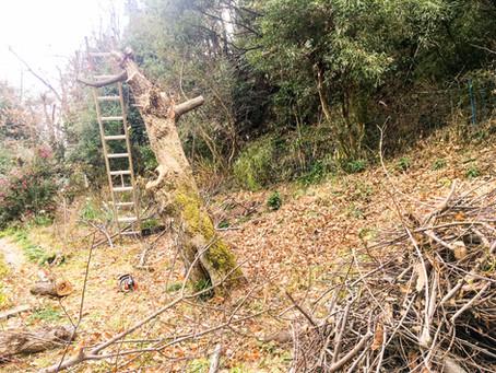 栗の木伐採ご依頼