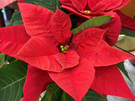 クリスマスの定番・・・ポインセチア