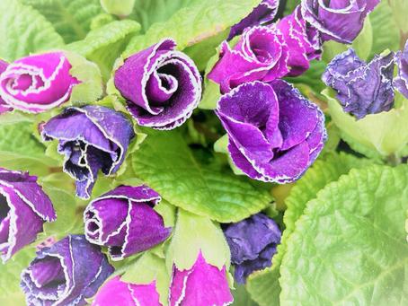 フリルの花びらがかわいいバラ咲「プリムラジュリアン紫」