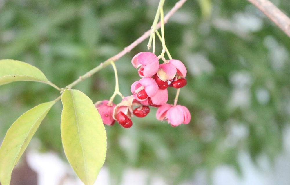 ぱっくりと実が開いたこのかわいい植物の正体は「マユミ」です。漢字で書くと「真弓」です。(私の叔母と同じ名前です笑)人の名前みたいですよね。この木は柔軟性があり、よくしなるため、弓の材料となるため、真弓という名がつきました。