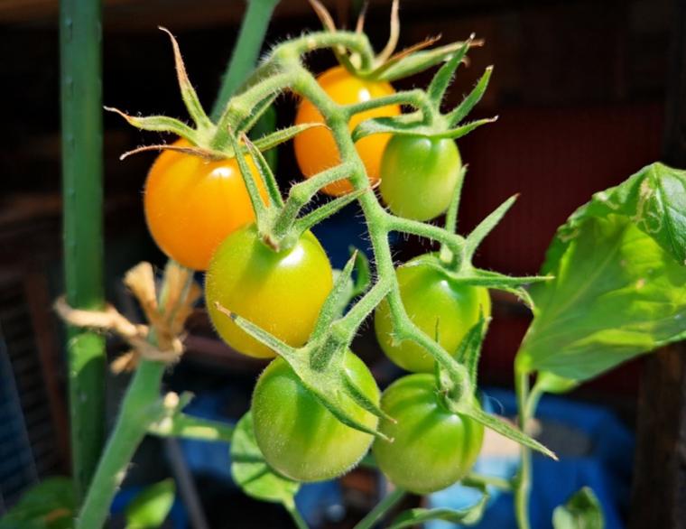 トマトの不思議