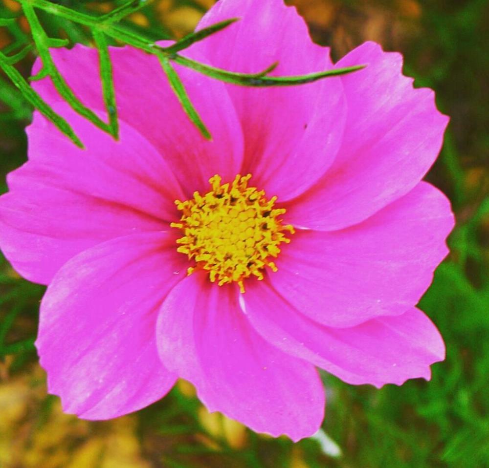 まさに秋の桜!コスモスが見頃です!