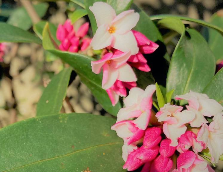 永遠と不死の花言葉をもつ三大香木「ジンチョウゲ」