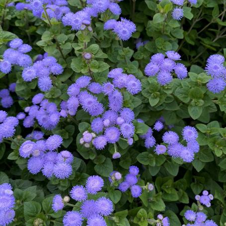 ポンポンとフワフワな花 アゲラタム