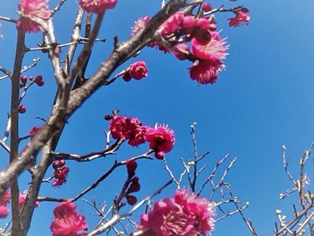 「高潔」の花言葉をもつ梅の花 紅梅「コウバイ」