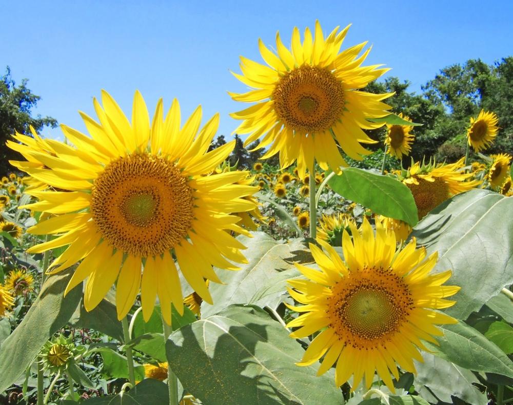 夏の花の代名詞 『ひまわり』 を育ててみませんか?