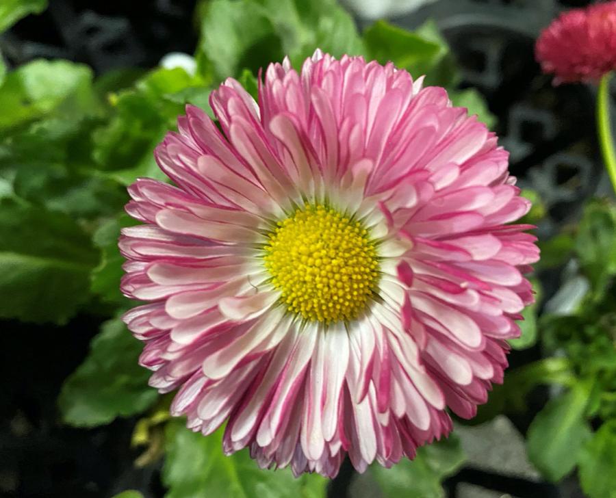 キュートでまん丸な花デイジー(チロリアンデイジー)