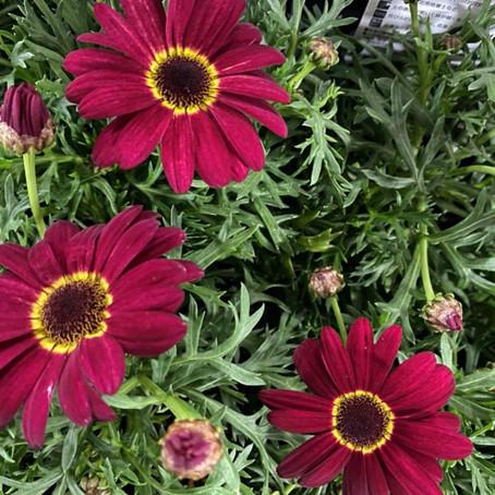 チアリーダーの花のようなマックスマム