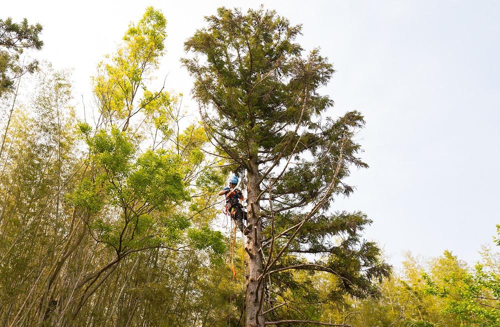 三重県四日市市で杉の伐採作業