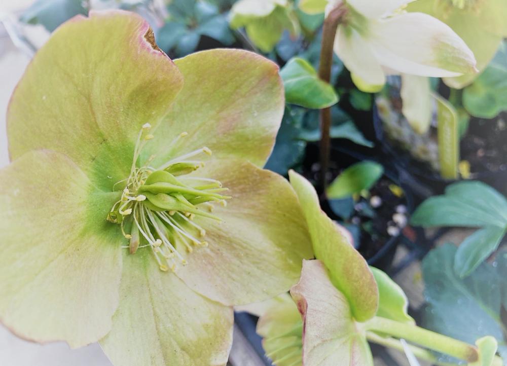 アンティークカラーの可憐な冬の花「クリスマスローズ」