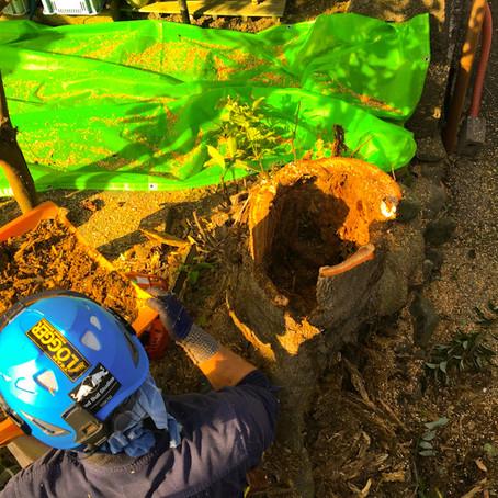 三重県四日市にてモチノキ伐採作業|三重県剪定伐採お庭のお手入れ専門店 剪定屋空
