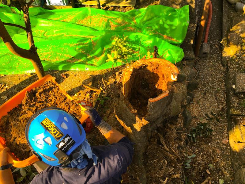 三重県四日市市でモチノキ伐採作業