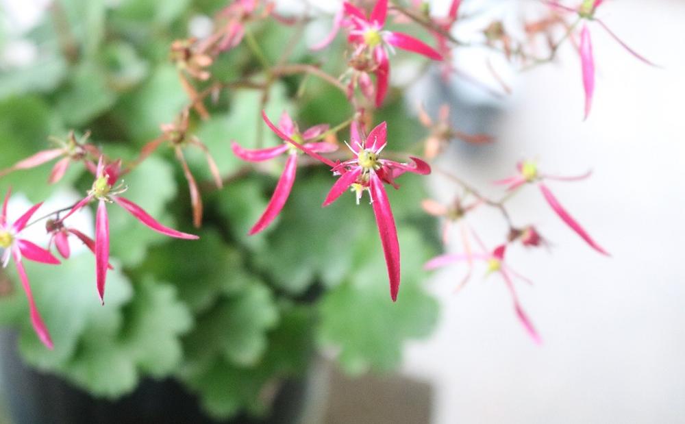 みなさんはこのお花を見て、どんな漢字に見えますか?漢字一文字だったら何に見えますか?こちらは「ダイモンジソウ」という植物です。漢字で書くと「大文字草」です。