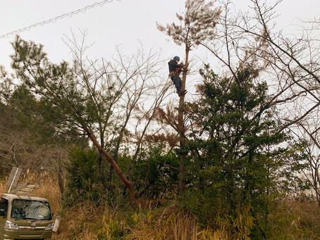 四日市市にて松枯れの黒松の伐採