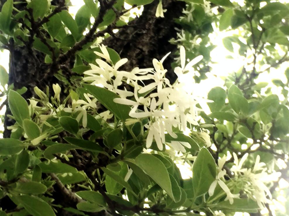 天然記念物。なんじゃもんじゃの木「ヒトツバタゴ」