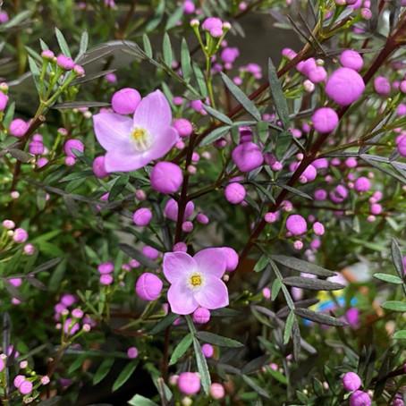 ツボミまで素敵なボロニアの花