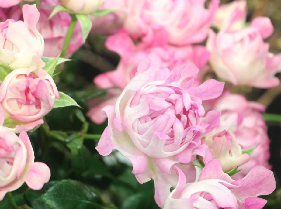 イソギンチャクのバラ!シーアネモネ|三重県剪定伐採お庭のお手入れ専門店 剪定屋空