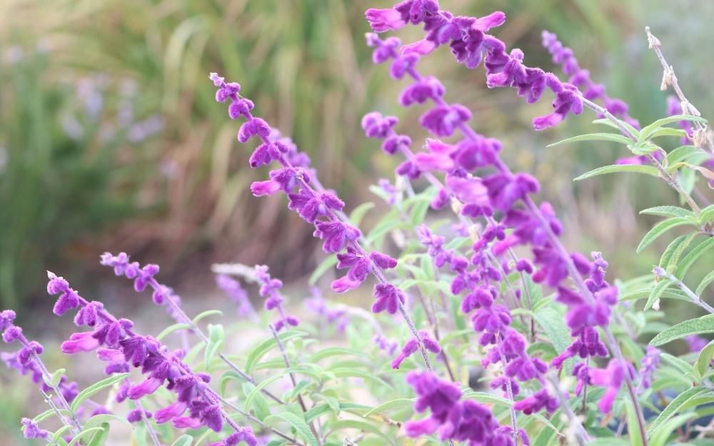 よ~く見るとお花には小さな毛が生えていて触ってみると、ビーロード、ベルベットのよ うです。そのため、「ベルベットセージ」とも呼ばれます。 寒さや暑さにも強く、そして花期が長いのでとても楽しめる植物です。画像は屋外のプラ ンターです。太陽を好みます。初心者でも育てやすいですよ。 お花はドライフラワーにするのもおすすめです。麻ひもでくくって、逆さまに吊るすだけ でOKです。リースにしたり、インテリアにするなど楽しめます。美しい紫なので、長く楽 しんでくださいね。