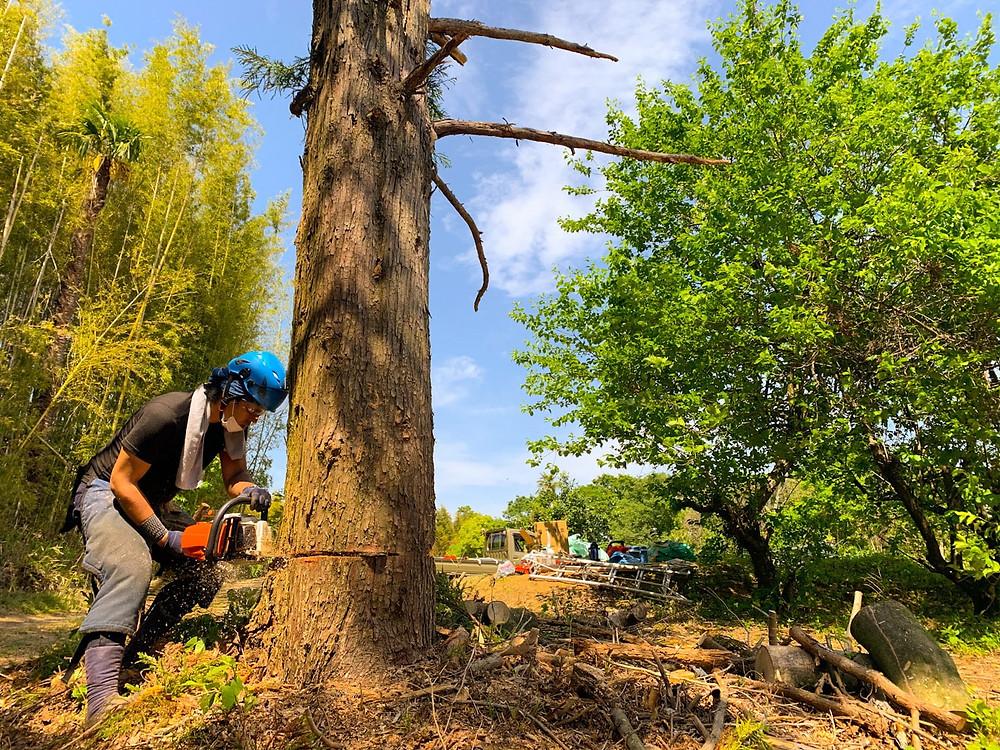 三重県 杉 伐採