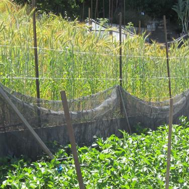 Ecology Action Mini-Farm