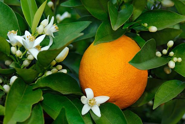Fleur De Barres Fleur d'Oranger
