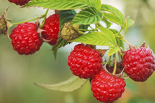 Red Raspberry (Conventional)