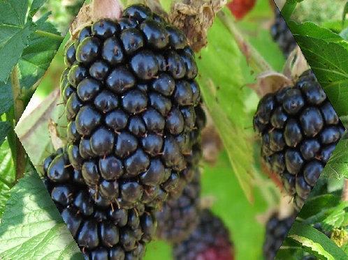 Triple Crown Blackberry