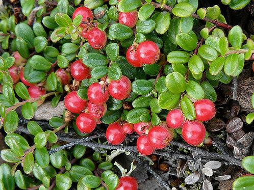 Lingonberry (Wild)