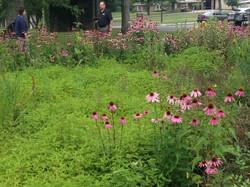 Garden_Cone Flowers