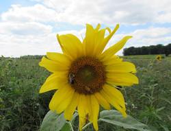 Sunflower2 resized