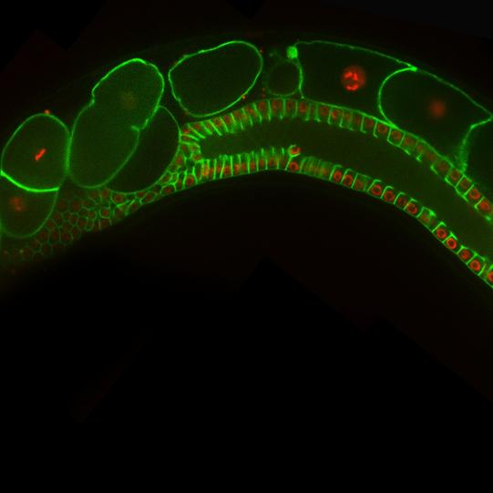 The Germline of C. elegans copy.png