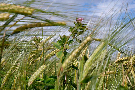 biod barley.jpg
