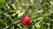 Acérola, le super fruit riche en vitamine C