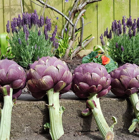 Season for purple..._#artichoke.jpg