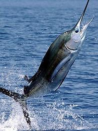 drone fishing for sailfish