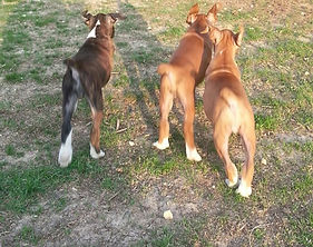 Puppies, brindle, fawn, boxers, happy tails