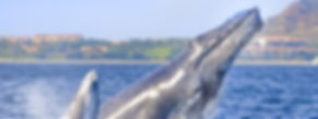 Los Cabos Whale Watching Tour, Enjoy of a amazing Guided tour and enjoy the Whales visit i Los Cabos aboard one of our charters in Cabo San Lucas