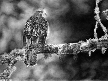 """""""Hawk"""" Fine Art Drawing Process"""