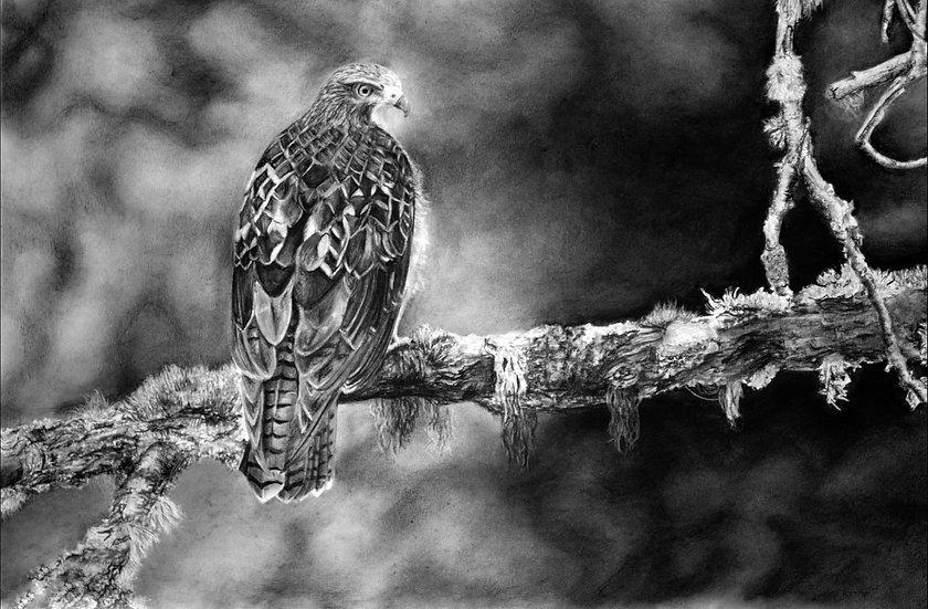 """Hawk"" LIMITED EDITION Fine Art Print"