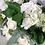 Thumbnail: SUMMER WHITES BOUQUET (BOXED)