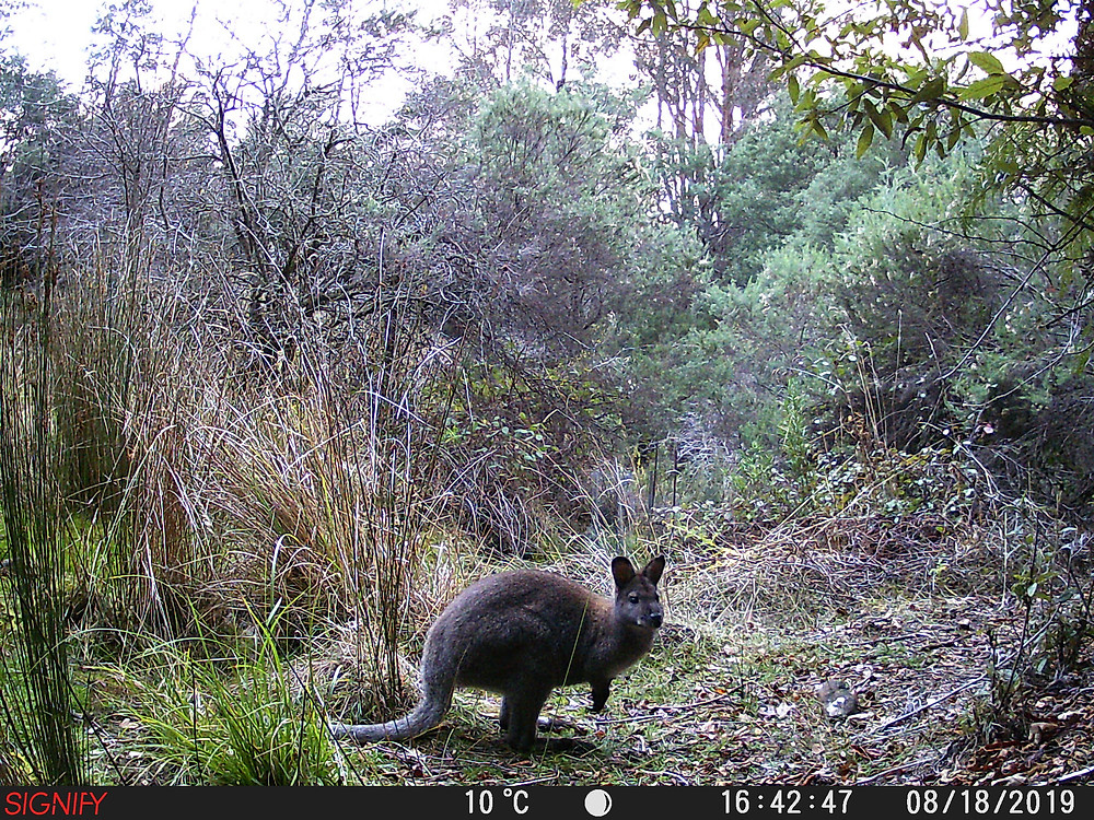 Wallaby in forest