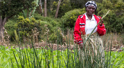 Milulu reed grass